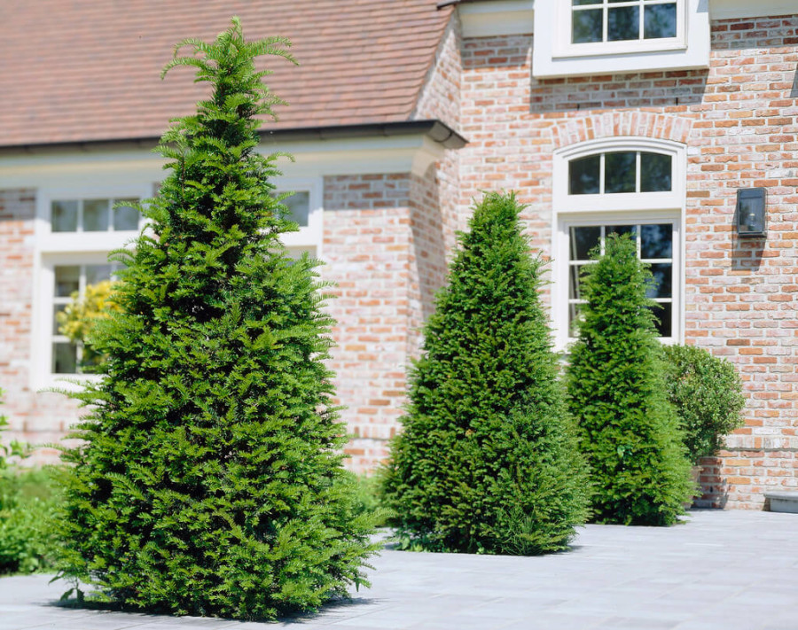taxus-baccata-1